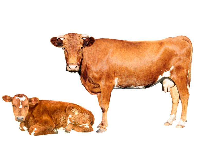 Friesen NutritionFriesen Nutrition cow and calf